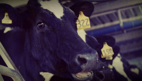 Leather Industry: Factory Cows