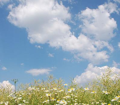 398px-camomile_colza_clouds