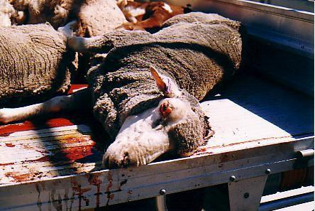 'Persian Lamb'